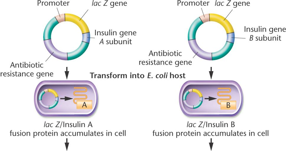 Recombinant DNA Technology in the Synthesis of Human Insulin