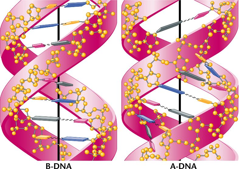 DNA_forms.html 10_17a-DNA_forms.jpg